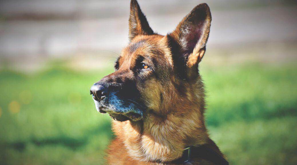 miglior razza cane da guardia e difesa